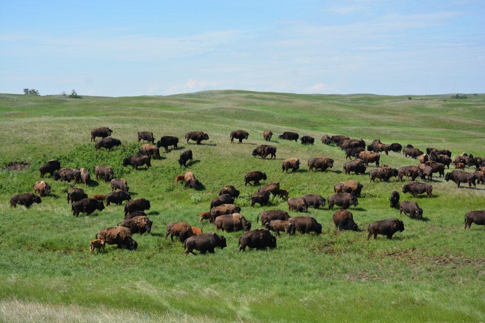 Alberta Grasslands: Where The Buffalo Roam Again featured image