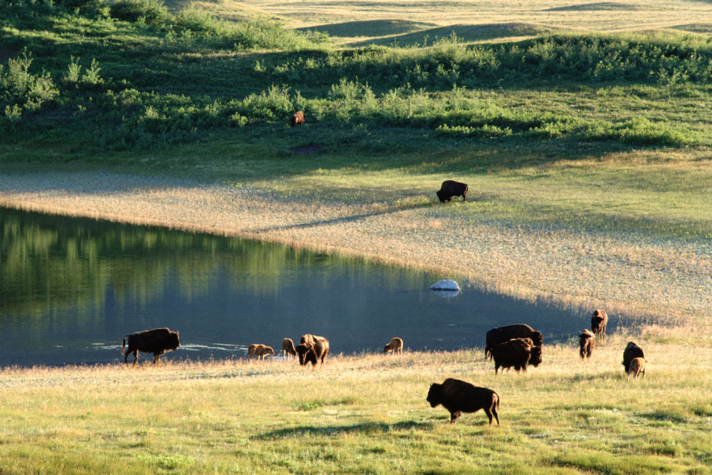 Bison grazing on ranchlands