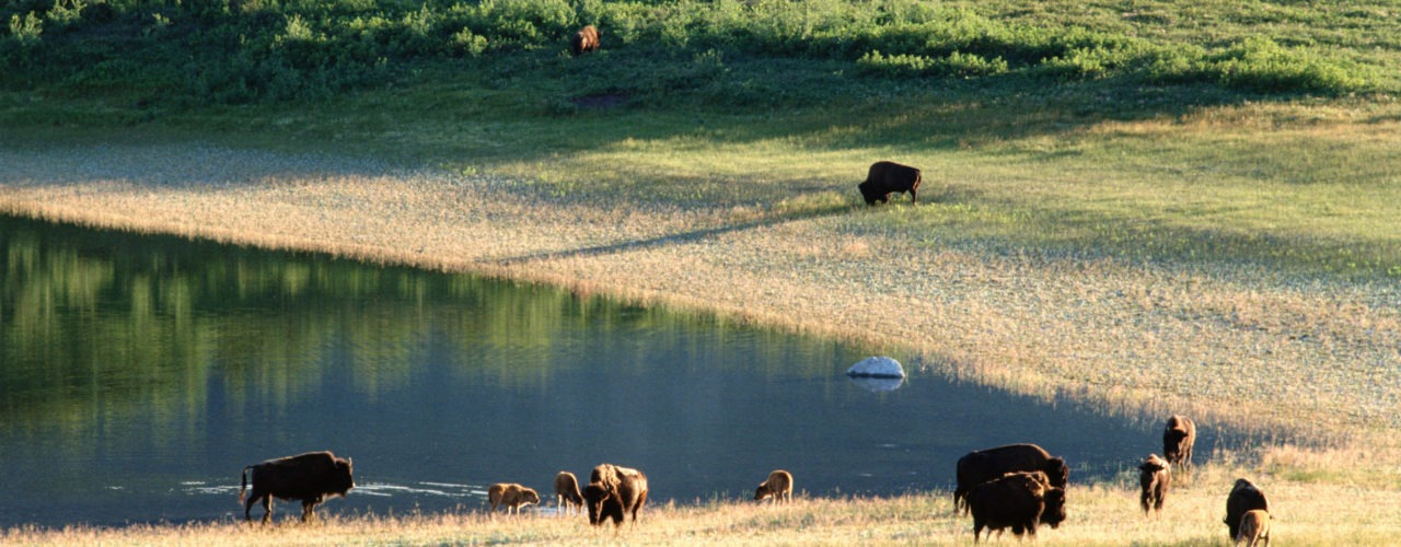Bison or Buffalo—what's the difference?