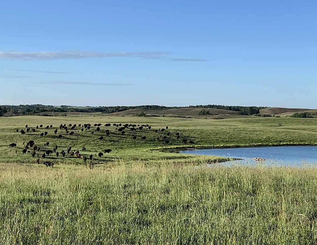 bison græsning